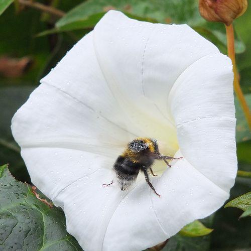 Bee on Bindweed_0002.jpg