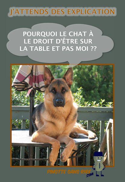 chien berger allemand J'attends des explication Pourquoi le chat à le droit d'être sur la table et pas moi ?