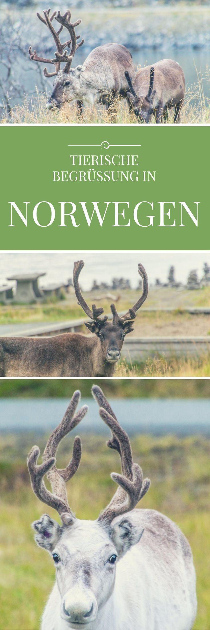 Auf dem Weg zum Nordkap in Norwegen: Morgens am Fjord werde ich von seltsamen Geräuschen geweckt. Eine Herde schnuckeliger Rentiere ist zu Besuch! Ein wunderschöner Moment und ein Highlight meiner Reise durch Skandinavien!
