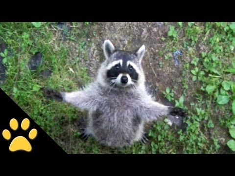 Raccoons Are Awesome: Compilation (+playlist)// This is why I want a pet raccoon damn it, but people keep discouraging me from getting one ahuhu