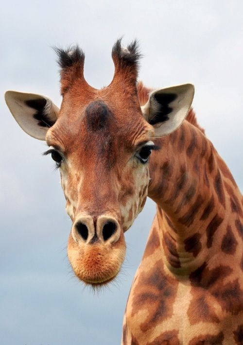 giraffes are born with horns. Both males and females have them. They are covered with skin.  Males are thicker and heavier and are used sometimes to fight other males.