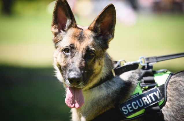 Us Schools Want Attack Dogs To Prevent Mass Shootings Dog