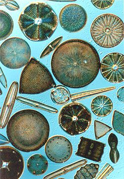 Diatoms are a major group of algae, and are one of the most common types of phytoplankton. Most diatoms are unicellular, although they can exist as colonies in the shape of filaments or ribbons, fans, zigzags, or stars.