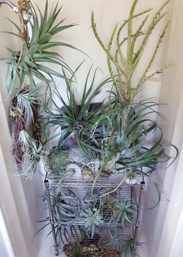 Grow Indoor Air Plants for Living Wall Art Plants, Air
