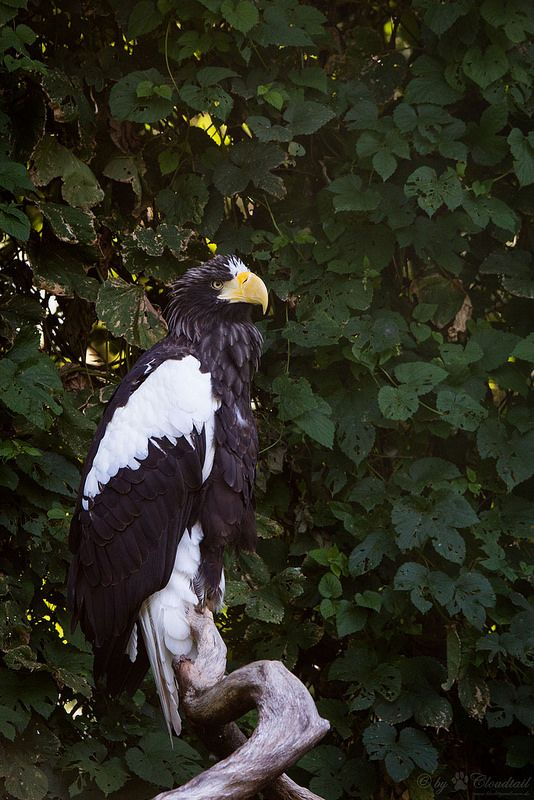 Steller's sea eagle | da Cloudtail the Snow Leopard