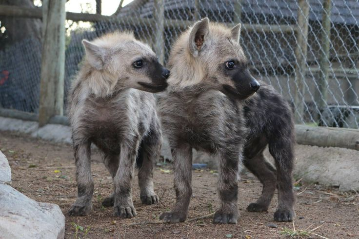 These 2 hyena cubs are quite the nursing success: they arrived almost starved and have been nursed to be cheeky and healthy! #Moholoholo #WildlifeOrphans #AfricanConservationExperience