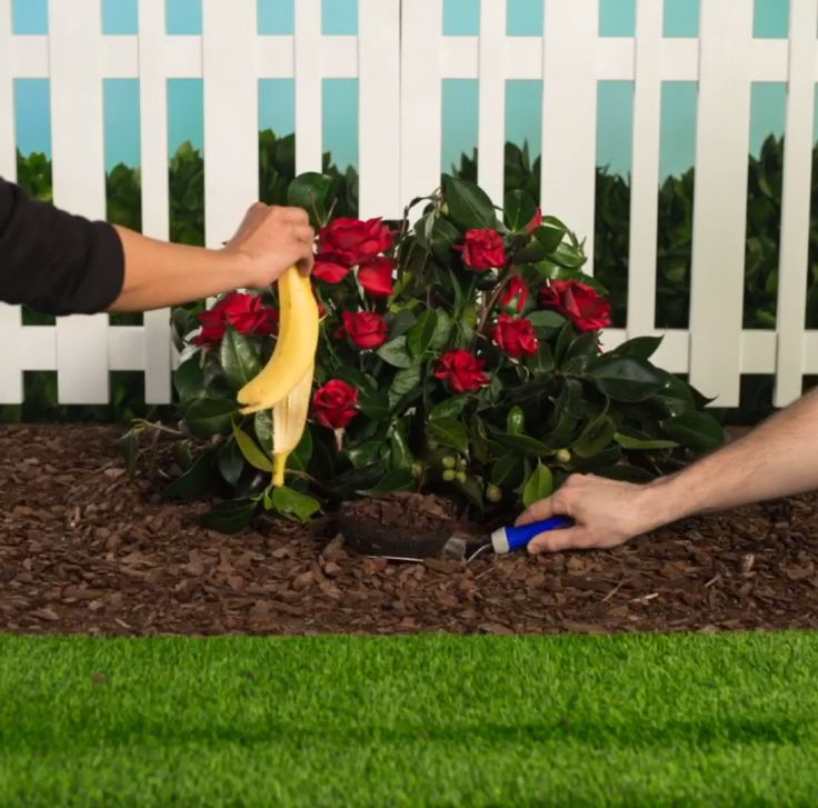 Keep your rosebush strong and healthy with help from a banana peel. #lowesfixinsix