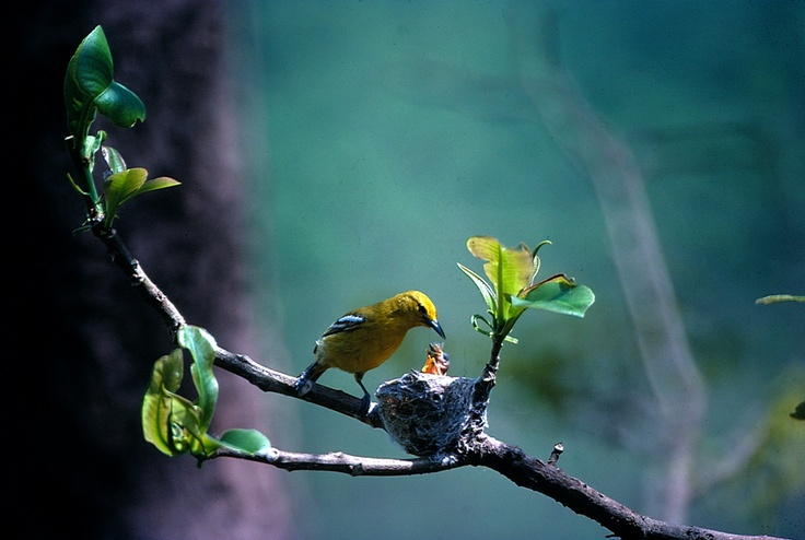 #birds #Himalaya #Nepal