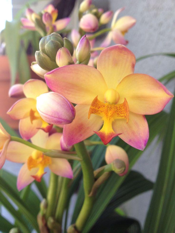 8/23/15 - Ground orchid (Philippine) Spathoglottis Mello Yellow.