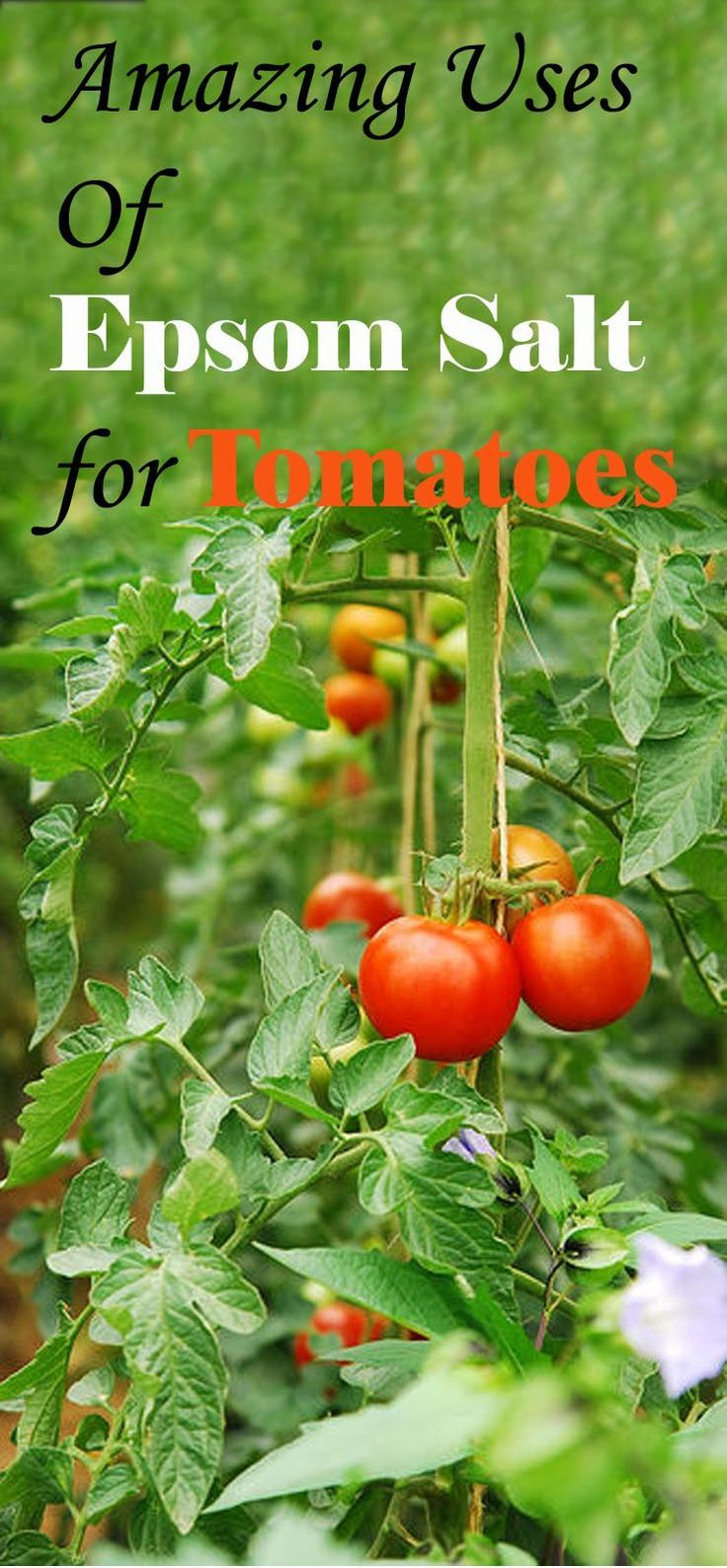 To grow thick, red and juicy tomatoes, use epsom salt. Epsom salt can do magics with your tomato crop.
