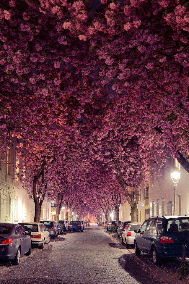 For two to three weeks each spring, the magical tunnel created by the trees lining Cherry Blossom Avenue in Bonn, Germany, brings in tourists and photographers alike | archdigest.com