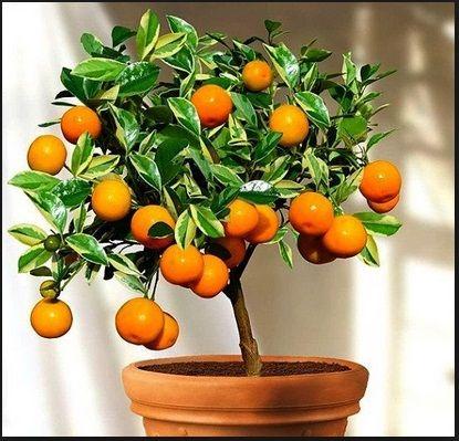 tanaman Jeruk Nagami