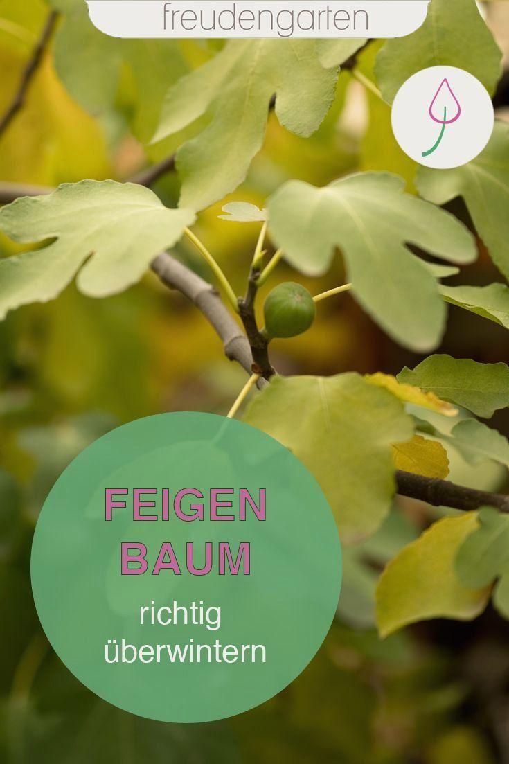 Feigenbaum Im Topf Und Garten Uberwintern 1000 Potted Trees Fig Tree Fig