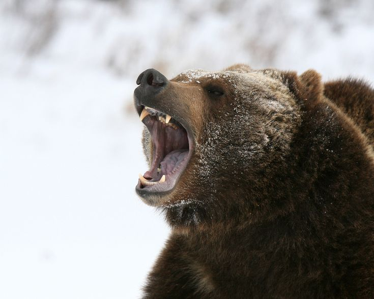 grizzly bear growl