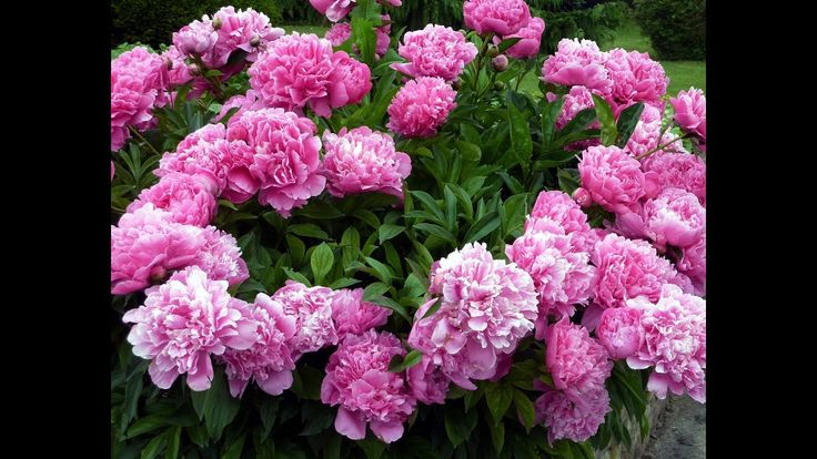 Beautiful and Gorgeous Peony Flowers Pictures