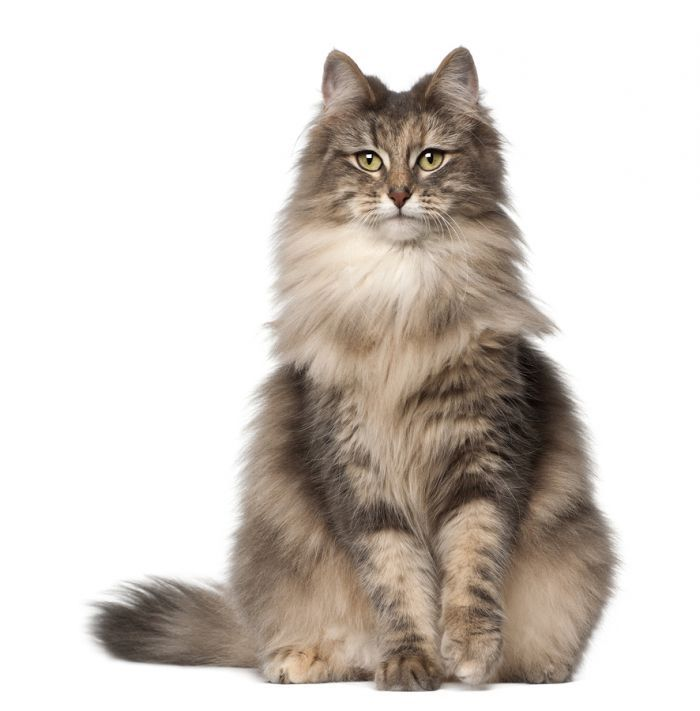 NORWEGIAN FOREST CAT Known for being tolerant toward children and other pets. They are very intelligent, and enjoy climbing. They are not easily stressed, and adapt bet...