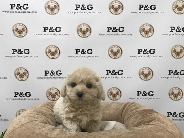 Maltese-Poodle (Toy) Mix puppy for sale in TEMPLE CITY, CA. ADN-22747 on PuppyFinder.com Gender: Male. Age: 8 Weeks Old