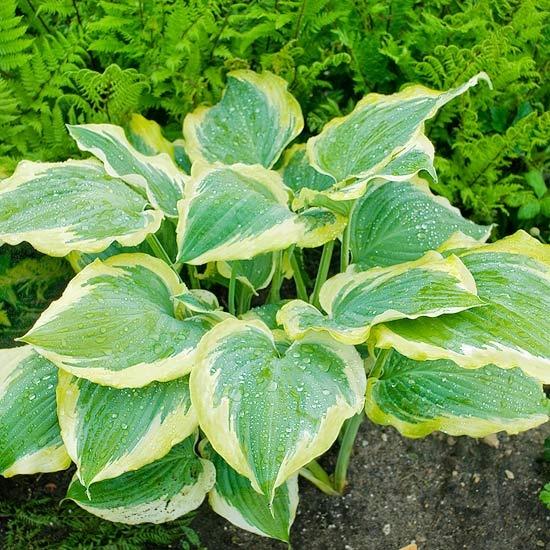 'Seducer' Hosta  shade: Feet Wide, Gold Edge, Tubular Flowers, Boy Grows, Bear White, Big Boy, Colors Stand, Dark Green
