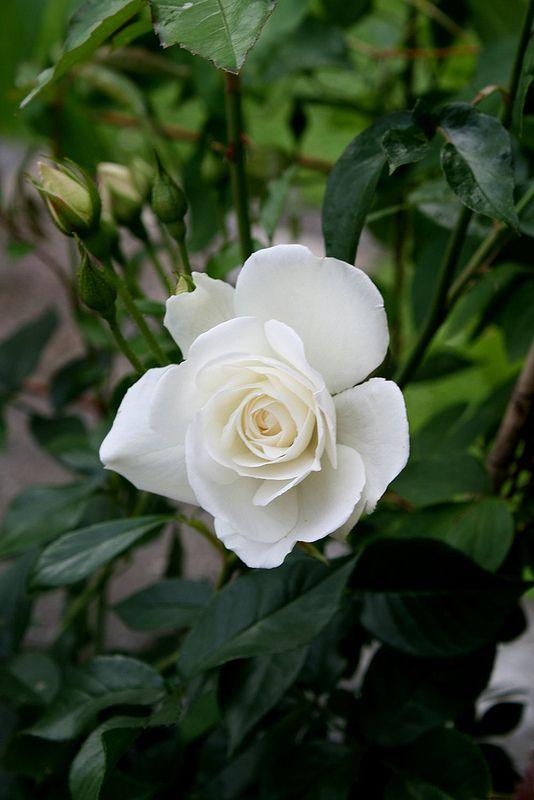 white climbing rose schneewittchen the white garden. Black Bedroom Furniture Sets. Home Design Ideas