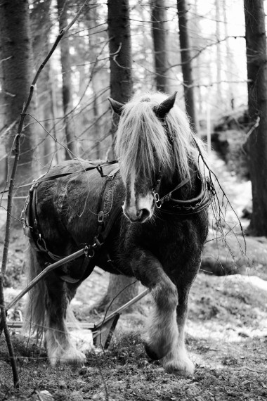 Ardenner working in the Swedish forest