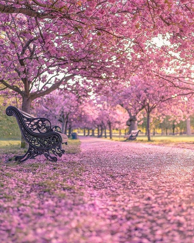 Cherry Blossom Alley At Greenwich Park In London Tmnikonian Ig Natureisfuckinglit Greenwich Park Nature Photography Beautiful Nature Wallpaper