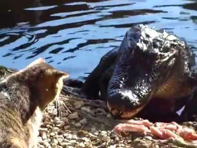Даже аллигаторы дважды подумают, прежде чем перейти им дорогу