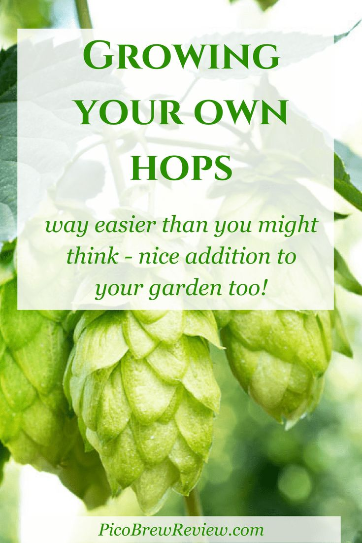 Grow your own hops make homemade beer or just enjoy this beautiful plant in your...