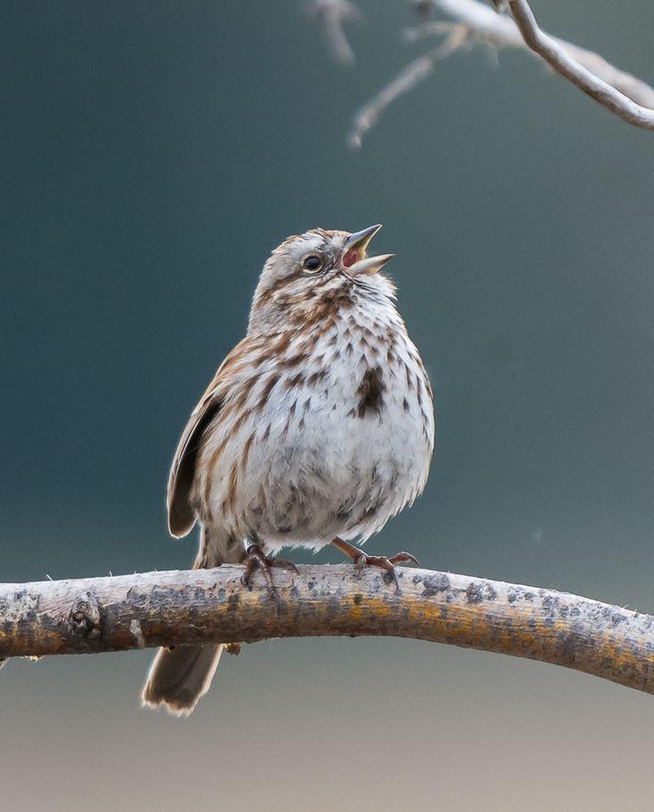 Song Sparrow ©Kevin Rutherford. Wild Bird Company - Boulder, CO. Saturday Morning Bird Walk at Sombrero Marsh - April 18, 2015.