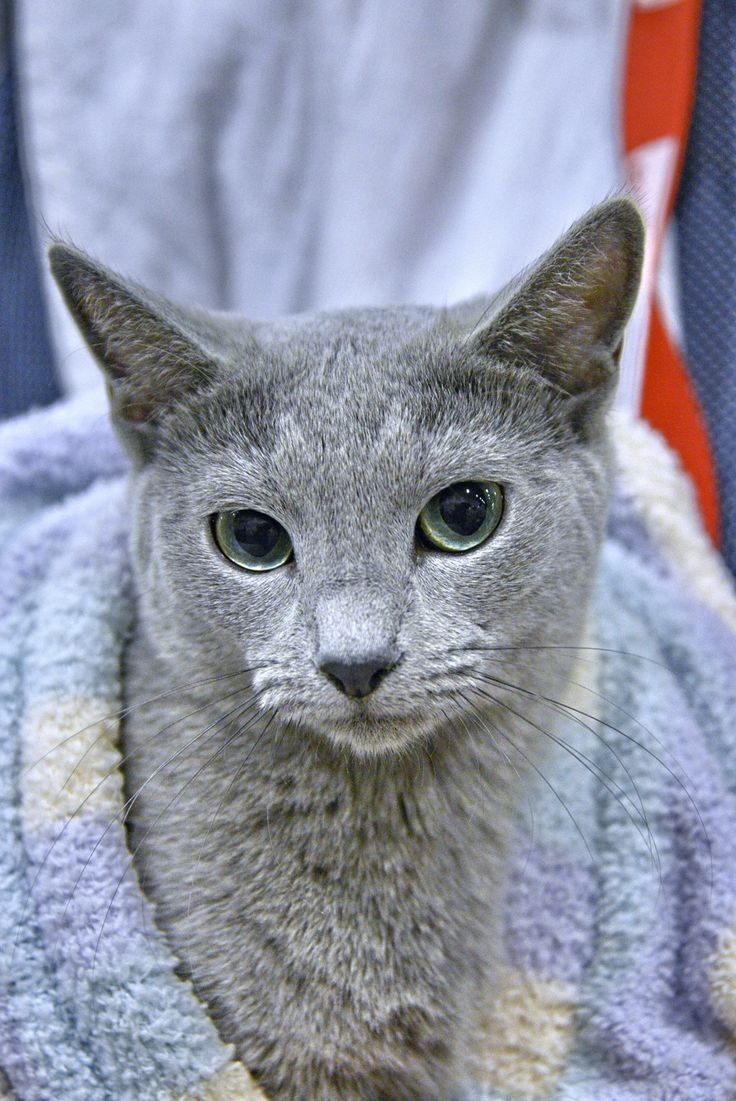 168 best Russian Blue Cats images on Pinterest