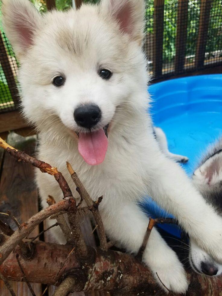 We are the cutest mini husky puppies...eeeever!