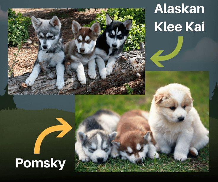 Assez Les 25 meilleures idées de la catégorie Pomeranian husky taille  FQ75