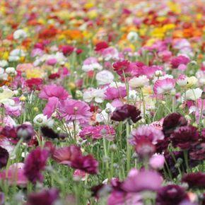 Ranunkeln im eigenen Garten ♡♡♡