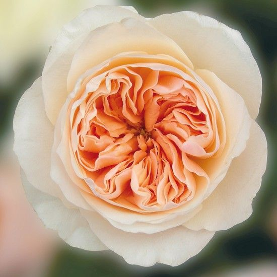 Juliet David Austin Rose (Ausjameson)