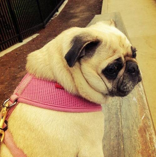 myrtle  Breed:  Pug (short coat)  Age:  Adult  Sex:  Female  Size:  Small  Shelter:  Pug Rescue of Sacramento-PROS Pug Rescue Bay to the Borders  Location:  Concord, CA 94524