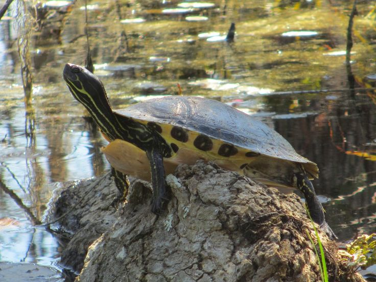 yellow-bellied slider | Spots on underside of marginals of carapice on yellow bellied slider