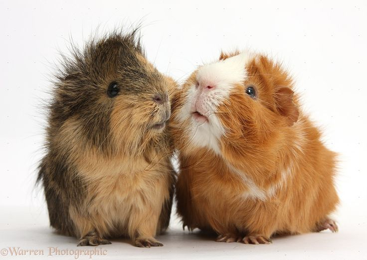 Two elderly Guinea pigs cheek-to-cheek photo - WP39316