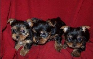 Cute & Adorable Potty Trained Teacup Yorkshire Terrier Puppies Akc Registered For Adoption. - Wyoming, MI | ASNClassifieds