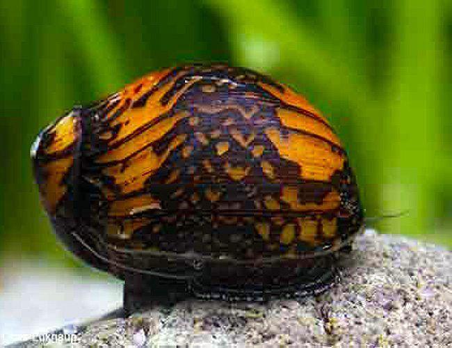 Algae Eating Nerite Snail Bajingo Nerite Aquatic Garden Snails For Sale Fresh Water