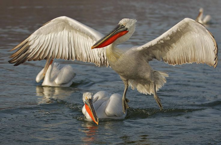 Macedonian wildlife - Lake Kerkini, Macedonia in northern Greece