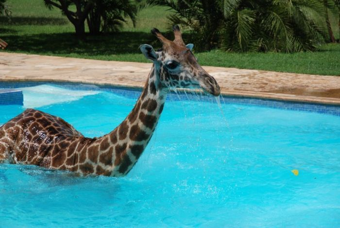 Giraffe in the swimming pool - probably not the first thing that would come to mind if you heard splashing.