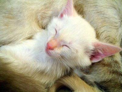 A cat usually starts weaning her kittens when they're about 4 weeks of age. Orphaned kittens can learn to eat out of a dish at the same age. The process takes some patience; but after about four to six weeks, your kitten will be eating hard food.