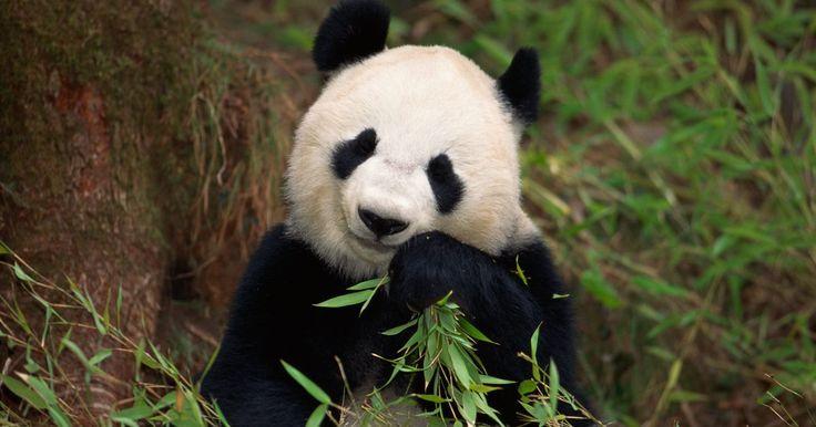 Fatos sobre filhotes de urso panda. Os ursos panda são alguns dos animais mais queridos e ainda sim estão entre os mais difíceis de se ver. Enquanto os cientistas aprenderam muito sobre ursos panda, a espécie ameaçada de extinção vive na altamente especializada, e cada vez mais rara, florestas de bambu da China, e são considerados solitários e reservados. No entanto, como resultado ...