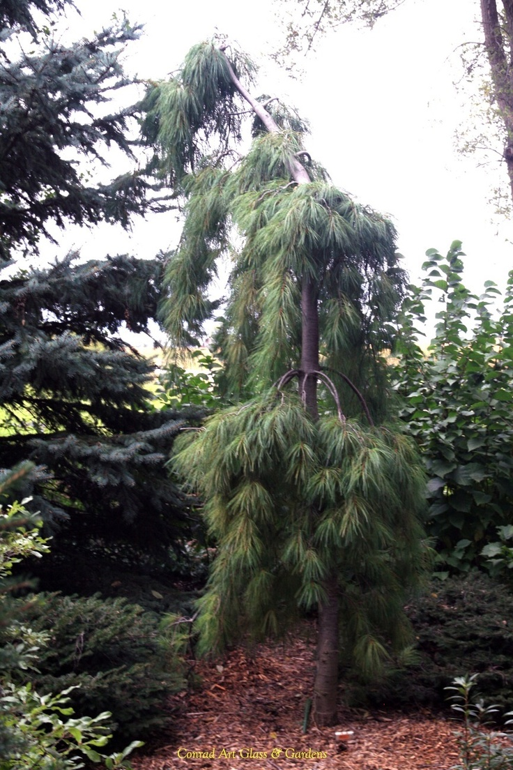 243 best evergreens or conifers images on pinterest evergreen