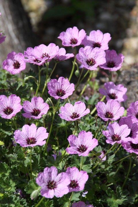 Geranium cinereum 'Ballerina' - Ooievaarsbek is een laagblijvende roze tot lilabloeiende ooievaarsbek. Bloeitijd: mei-juli. Hoogte: 15-20 cm.  Geranium cinereum 'Ballerina' staat graag op een zonnige tot lichtbeschaduwde plaats. Deze ooievaarsbek is geschikt om te worden toegepast in een rotstuin of in de voorrand van een (roze) vaste plantenborder. Geranium cinereum 'Ballerina' kan vermeerderd worden door de plant in het voorjaar op te nemen en te delen. In maart terugsnoeien.