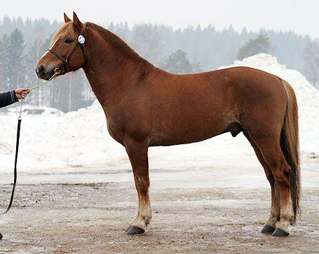 #Finnhorse 'Turon Myrsky' at a stallion show in Kiuruvesi (nearby town). Photo by Johanna Rautio.