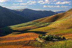 The Chemistry of Autumn Colours (Pedro Dinis Angelo) Tags: autumn portugal automne landscape vines wine paisagem autumncolours autumncolors vineyards grapes douro paysage turismo vignes vinho uvas almendra vinhas patrimoniodahumanidade videiras fozca quintadaleda