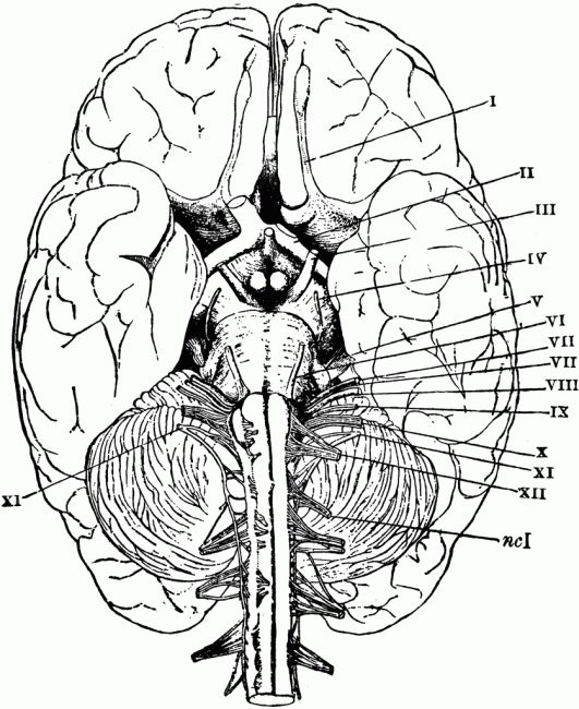 brain anatomy coloring pages printable coloring pages. Black Bedroom Furniture Sets. Home Design Ideas