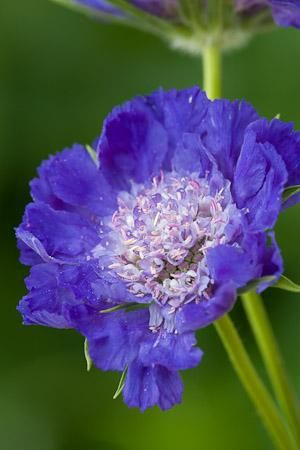 Scabious caucasica 'Fama'. Perennial, flowers 1-2 years. Full sun & shelter. Well drained soil, organic matter. Sow Mar/Aug. H50cm, S30cm. Flowers July-Sept. Good for pollinators.