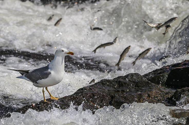 """""""Zorlu yolculuk"""" martılara yaradı. Van Gölü'nün tuzlu ve sodalı suyunda yaşayan inci kefali, suyun tersine yüzerek tatlı sulara göçü sırasında martılarla da mücadele etmek zorunda kalıyor. Van Gölü sahasında yaşayan martılar, üremek için suyun tersine yüzerek tatlı sulara göç eden balıkları avlayarak besleniyor."""