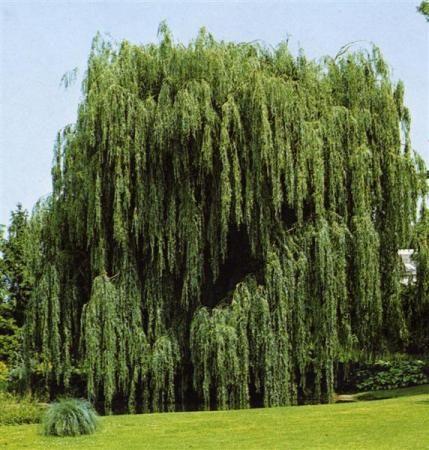 Il Salice piangente è un albero molto noto nella nostra penisola, appartenente alla famiglia delle Salicaceae. Esso è molto utilizzato a scopi ornamentali, in lunghi viali, soprattutto per via della caratteristica disposizione del suo fogliame.